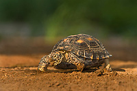 481150052 a wild texas tortoise gopherus berlandieri near a small pond in the rio grande valley of south texas