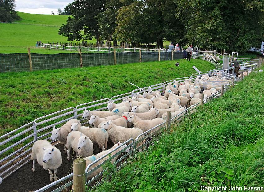 Sheep handling system, Llandeilo, Wales...Copyright..John Eveson, Dinkling Green Farm, Whitewell, Clitheroe, Lancashire. BB7 3BN.01995 61280. 07973 482705.j.r.eveson@btinternet.com.www.johneveson.com