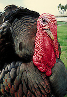 portrait of black and red wild turkey. Petaluma California, Adobe State Historic Park.