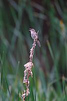 Schilfrohrsänger, Schilf-Rohrsänger, singt exponiert auf Rohrkolben-Stängel, Acrocephalus schoenobaenus, sedge warbler