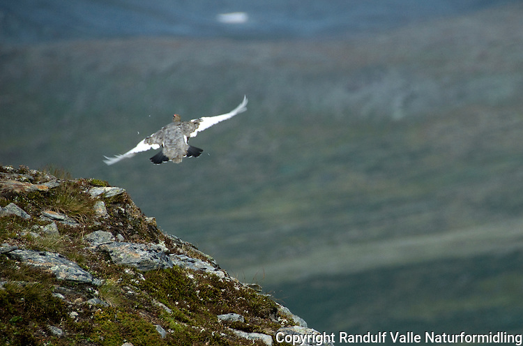 Fjellrype i flukt ---- Rock ptarmigan taking off