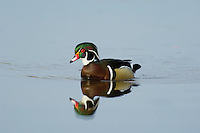 Wood DUCK (Aix sponsa) drake.  Pacific Northwest.  Winter.