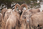 Bighorn sheep near Estes Park, Colorado, USA