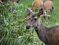 Red Deer hind close-up. Yorkshire.