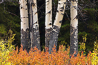 Aspen and barberry in the rocky mountains