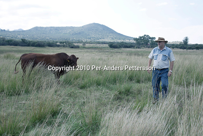 POLOKWANE, SOUTH AFRICA - MAY 4: Farmer Peter Mockford stands with one of his Bonsmara cattle on May 4, 2010, on his farm in Rustenburg, South Africa. He is a big farmer in the province and has about 20,000 pigs, cattle. Many farms in the areas problems with theft and violence and he was recently robbed on his farm. (Photo by Per-Anders Pettersson)