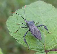 Leaf-footed Bug; Acanthocephala terminalis; PA, Philadelphia, Schuylkill Center;