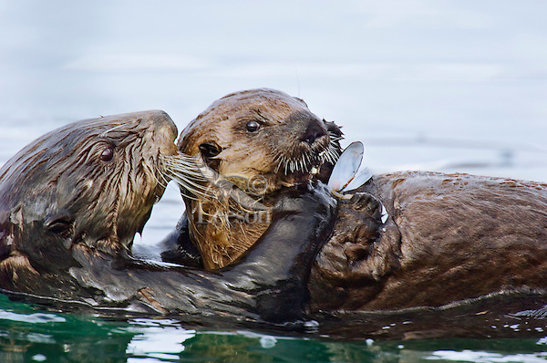 Sea Otter (Enhydra lutris) female sharing food with her pup.  Pup is too young to hunt on its own at this stage.  Alaska.