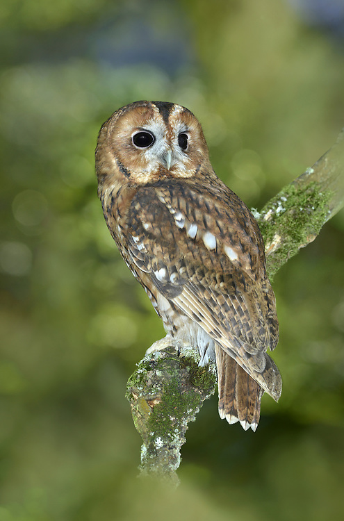 Tawny Owl - Strix aluco L 38-40cm. Our most familiar owl. Strictly nocturnal; roosts in tree foliage during day. Flight is leisurely on broad, rounded wings. Sexes are similar. Adult and juvenile have streaked, variably chestnut-brown or grey-brown plumage, palest on underparts. Eyes are dark. In flight, underwings look pale. Young birds typically leave nest while still downy and white. Voice Utters sharp kew-wick and well-known hooting calls; most vocal in late winter and early spring. Status Fairly common resident of woodland habitats where small mammals are common; also in gardens and suburban parks.