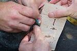 Taking Skin Sample From Mountain Brushtail Possum