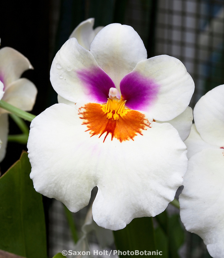 Miltonia Orchid, pansy face orchid flower at San Francisco Conservatory of Flowers