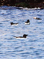 Adult razorbiulls and a puffin