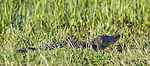 Brazoria County, Damon, Texas; a panoramic view of an adult American Alligator (Alligator mississippiensis) warming itself in the sun, while resting on the bank of the slough