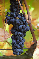 A grape bunch with over-ripe shrivelled grapes on an old vine in the vineyard, Domaine Pech-Redon, Coteaux du Languedoc la Clape, Narbonne, Herault, Languedoc-Roussillon, France