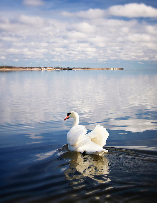 Swan Gliding Along in Blue Waters - Islip, Long Island, New York