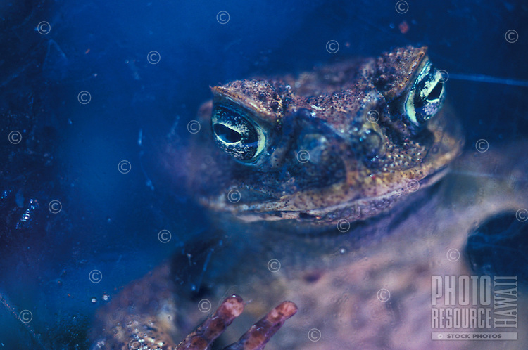 "Local toad, referred to as a """"bufo"""" (Bufo marinas), alien"