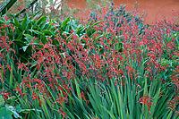 Crocosmia 'Lucifer' red flowering bulb Nan Sterman Garden