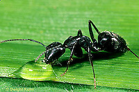 AN06-013z  Ant - carpenter ant drinking from dew drop