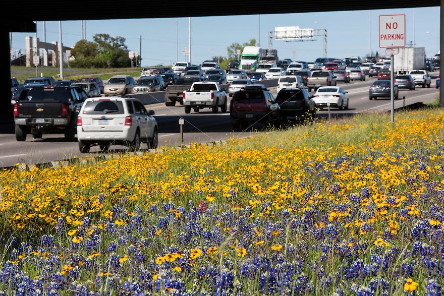 Drivers stuck in Austin's I-35 interstate traffic can gaze at the beautiful bluebonnets and Texas wildflowers to pass the time.