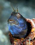 Blue Seaweed Blenny,Parablennius marmoreus, Combtooth blennies, with bristles, blue with pain from fireworm bristles, Underwater Marine life Behavior, Blue Heron Bridge, Lake Worth Inlet, Riviera, Florida, USA, Intra Coastal Waterway, North Atlantic Ocean.