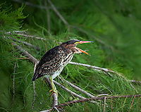 Juvenile Green Heron standing on tree limb with mouth open in profile