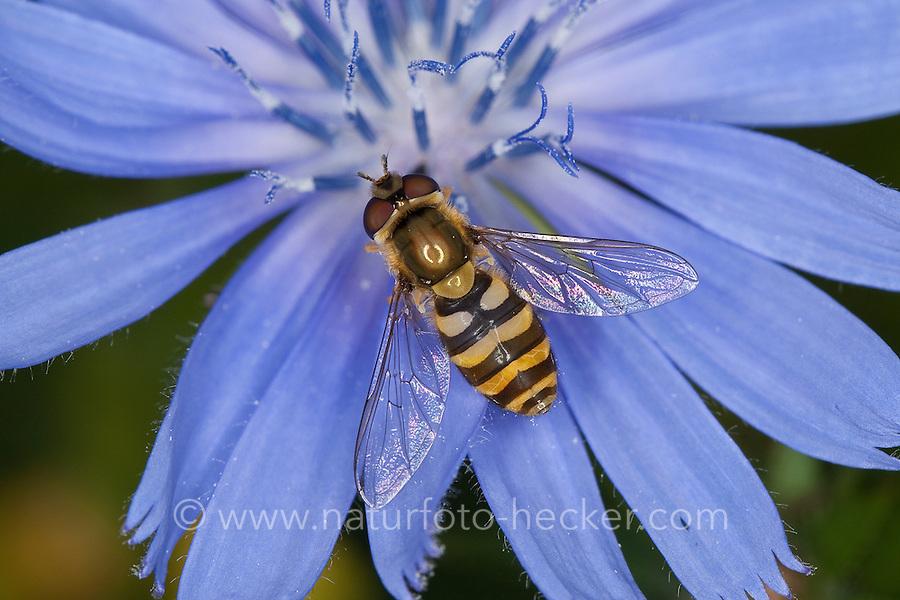 Garten-Schwebfliege, Gartenschwebfliege, Gemeine Schwebfliege, Weibchen beim Blütenbesuch auf Wegwarte, Syrphus spec., hover fly, hover-fly