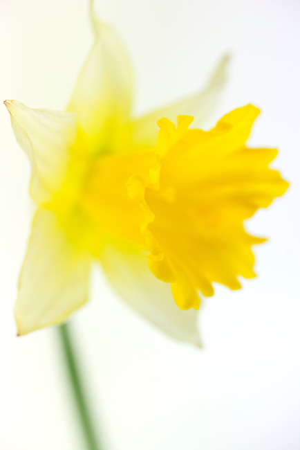 Selective Focus on a single Yellow daffodil. White background