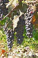 Grape bunches. Torres Penedes Catalonia Spain
