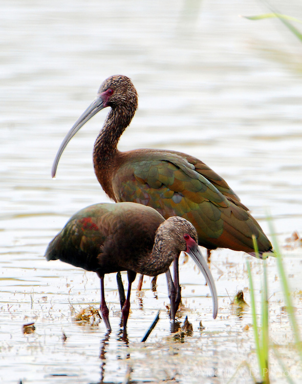 Pair of white-faced ibises in winter