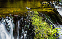 American Dipper, Oregon