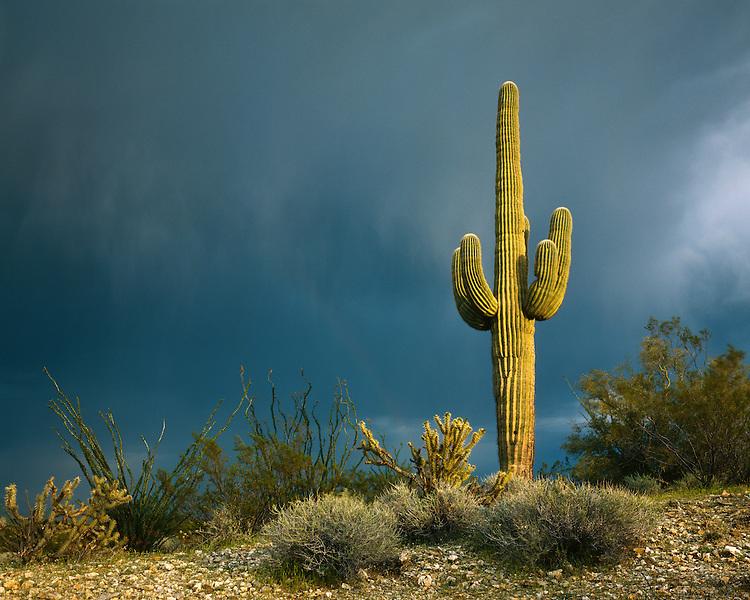 Saguaro Cactus and summer storm on the Sonoran Desert; Saguaro National Park, AZ