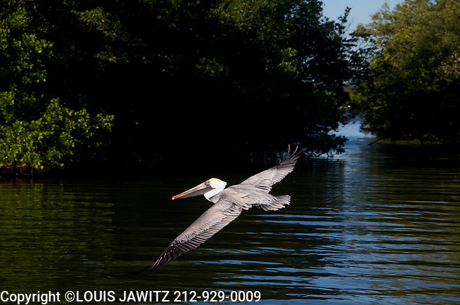 pelican ,in, flight , Fla.,estuary,flying low on water ,wings ,out .