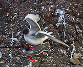 Swallow-tailed gulls about to mate with the female looking up at her mate who is standing on her shouldesr with wings spread. The gulls are in full breading collors of black head and red-rimmed eyes. Mating pairs frequently stay together from year to year and feed their chick for about 90 days.