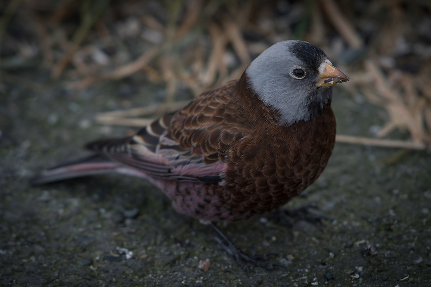 Gray-crowned Rosy-Finch, Homer, Alaska. Photo by James R. Evans.
