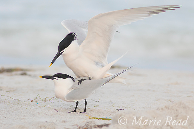 Sandwich Terns (Sterna sandvicensis), pair copulating, Fort De Soto Park, Florida, USA