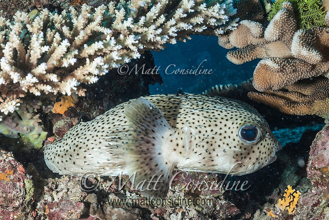 A little Pufferfish lurking among the coral. (Photo by Underwater Photographer Matt Considine)