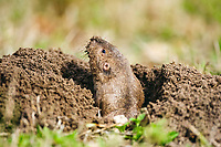 Attwater's Pocket Gopher (Geomys attwateri), adult looking out of burrow, Sinton, Corpus Christi, Coastal Bend, Texas, USA, North America