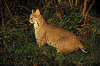 FLORIDA BOBCAT -  generally darker and with fewer markings than in other regions of North America. (Felis rufus)