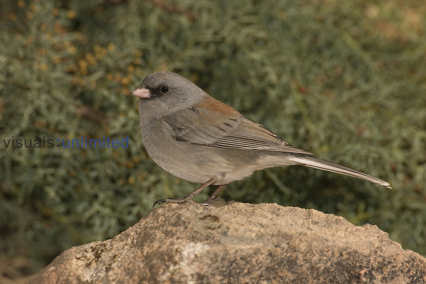 Dark-eyed Junco, Gray-headed form, perched on a rock (Junco hyemalis), Arizona, USA.