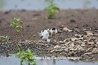 01013-00408 Least Terns (Sterna antillarum) male & female at nest in flooded field, Alexander Co.  IL