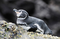 Galápagos Penguin (Spheniscus mendiculus), adult on rock, Bartolomé Island, Galapagos, Ecuador, South America