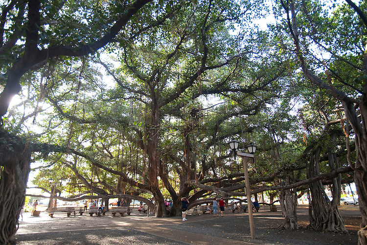 The 100 year old banyan tree in Lahaina Town, Maui, Hawaii