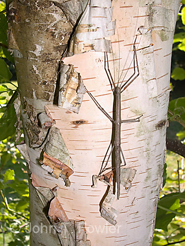 Walkingstick insect<br />