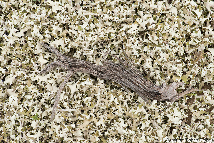 Patterns of Lichen at coast, Ria Formosa East, Praia do Barril Beach, Algarve, Portugal,
