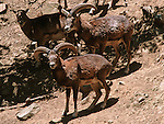 The moufflon, is Cyprus best known endangered species. The current moufflon population is just over 2000. A small herd is kept under protection in the Pafos forest.