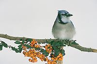 Blue jay, cyanocitia cristata, in white winter day perches on branch with orange pyracantha berries wearing poofy feathers and an inscrutable look, Midwest USA