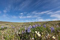 Lupine and avens, Utukok Uplands, National Petroleum Reserve Alaska, Arctic, Alaska.