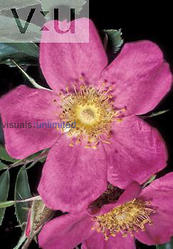 Rose flower (Rosa rugosa), Eastern North America.