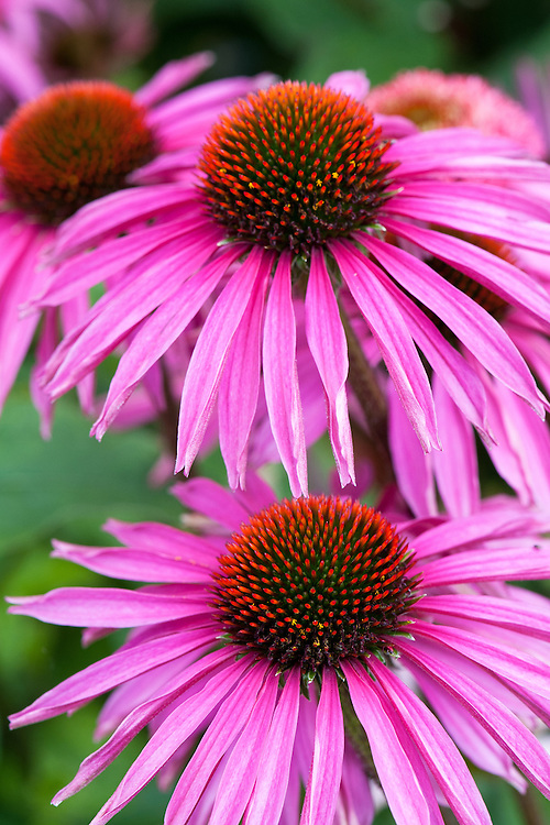 Echinacea 'Pica Bella', early July.