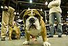 2008 Detroit Kennel Club Dog Show